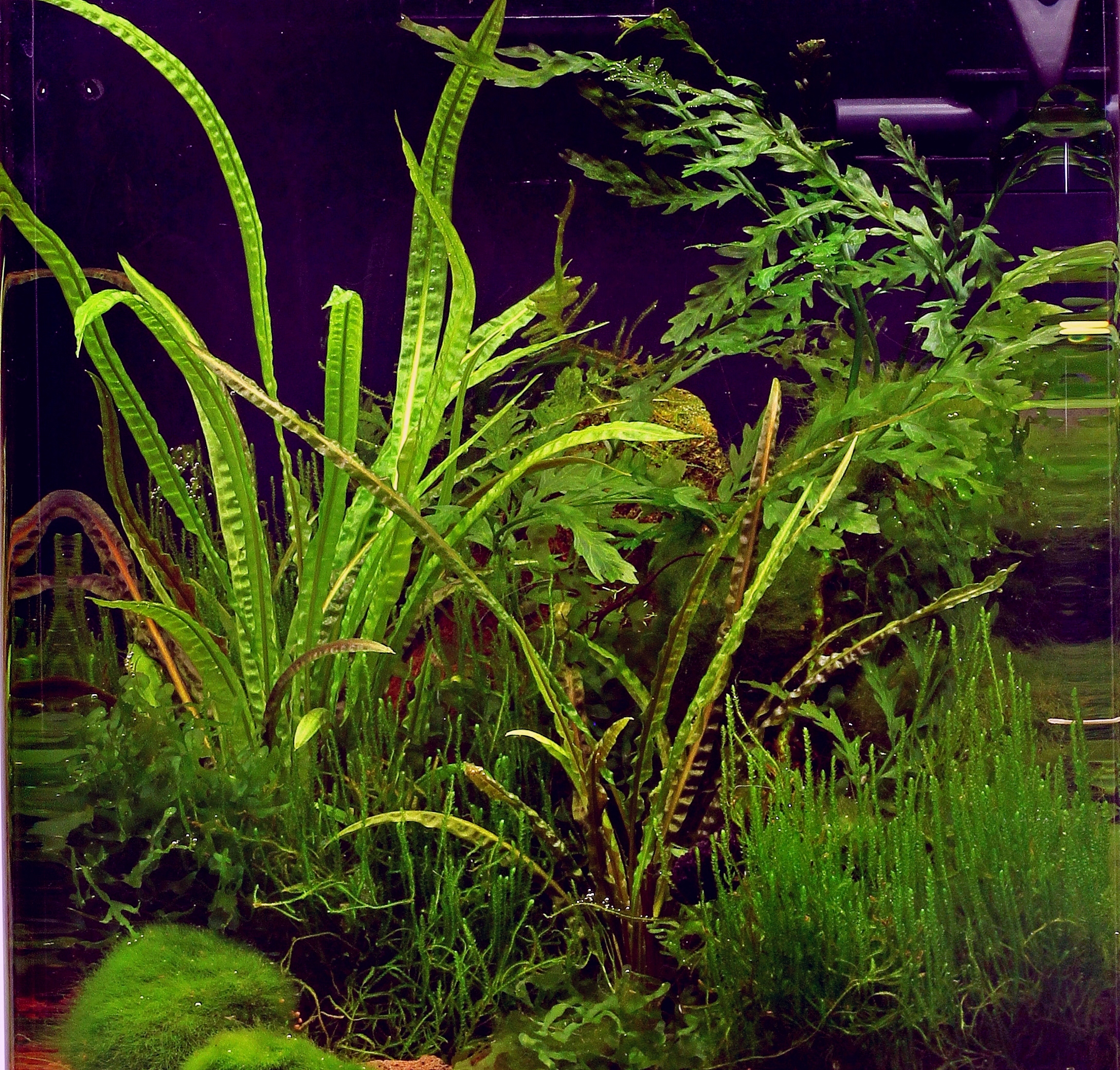 dennerle aquarium pflanzen cryptocoryne crispatula in vitro. Black Bedroom Furniture Sets. Home Design Ideas