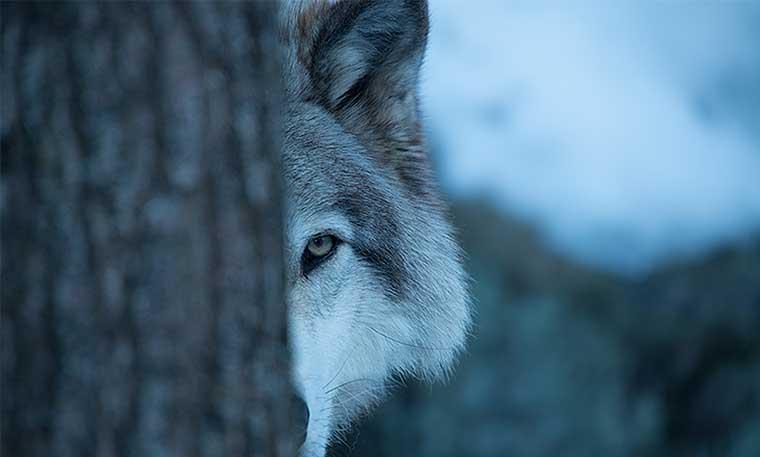 Teaser: Erfahre mehr über das Wolfskonzept
