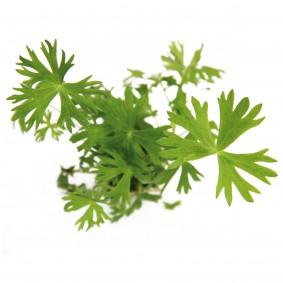 Dennerle Aquarienpflanzen Ranunculus inundatus In-Vitro