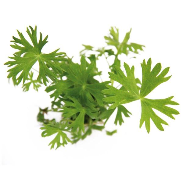Dennerle Aquarienpflanzen Ranunculus inundatus ...