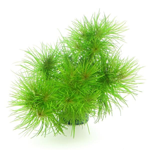 Dennerle Aquarienpflanze Pogostemon erectus In-Vitro