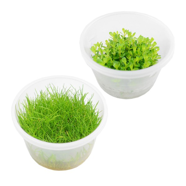 Planet Plants Invitro Cups Eleocharis & Rotala bonsai