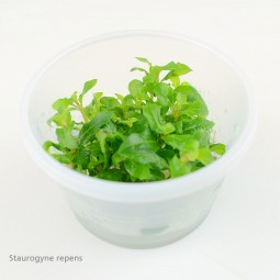 Planet Plants Invitro Cups Riccia & Staurogyne