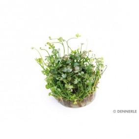 Dennerle Aquarienpflanze Marsilea hirsuta In-Vitro