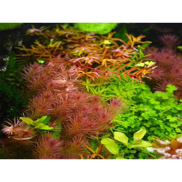 Dennerle Aquarium Pflanzen Rotala wallichii In-Vitro