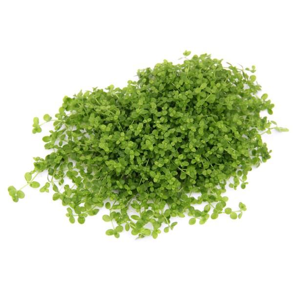 Dennerle Aquarienpflanze Micranthemum spec. ´Mo...