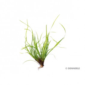 Dennerle Aquarienpflanze Juncus repens In-Vitro