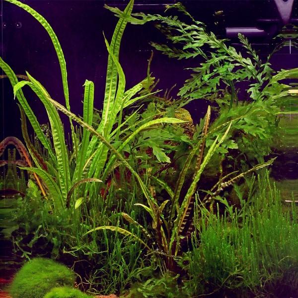 dennerle aquarium pflanzen cryptocoryne crispatula in vitro. Black Bedroom Furniture Sets. Home Design Ideas