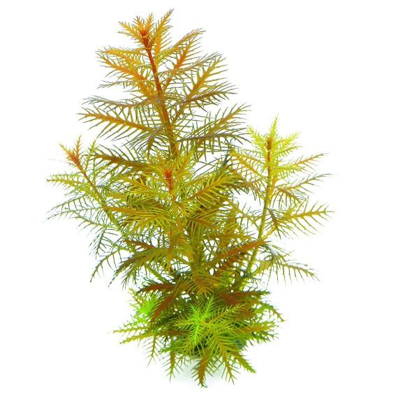 Dennerle Aquarium Pflanzen Proserpinaca palustr...