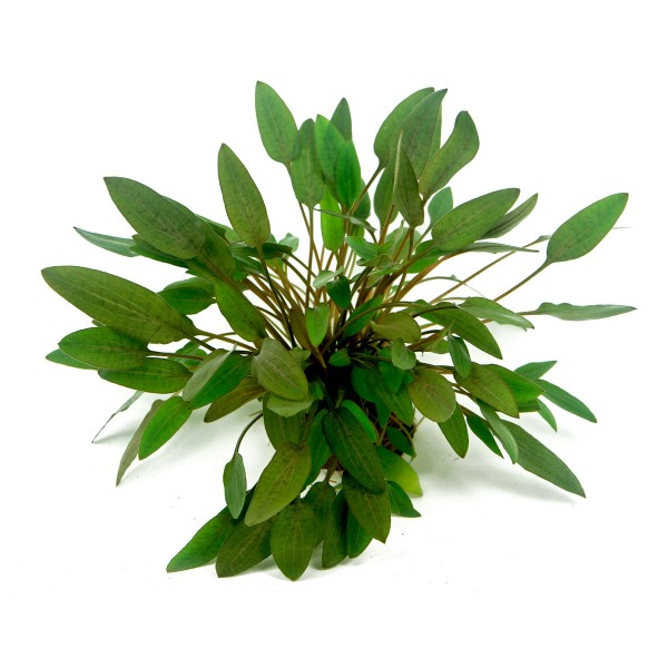 Dennerle Aquarienpflanze Cryptocoryne wendtii ´Kompakt´ In- Vitro