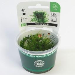 Dennerle Aquarienpflanze Vesicularia ferriei In-Vitro