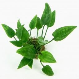 Dennerle Aquarienpflanze Cryptocoryne pontederifolia In-Vitro