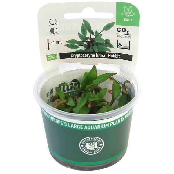 Dennerle Aquarienpflanze Cryptocoryne lutea ´Hobbit´ In-Vitro