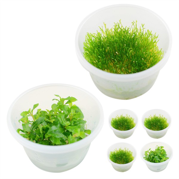 Planet Plants Invitro Cups Riccia & Staurogyne
