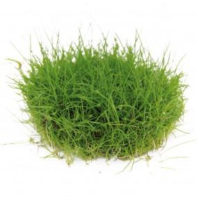 Dennerle Aquarienpflanze Eleocharis pusilla In-Vitro