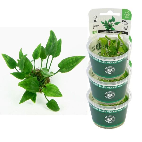 Dennerle Aquarienpflanzen Cryptocoryne pontederifolia In-Vitro Aquarium Pflanzen
