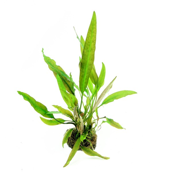 Dennerle Aquarienpflanze Cryptocoryne usteriana...