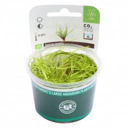 Dennerle Aquarienpflanze Juncus repens In-Vitro