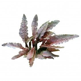 Dennerle Aquarienpflanze Cryptocoryne spec.'Flamingo' In-Vitro