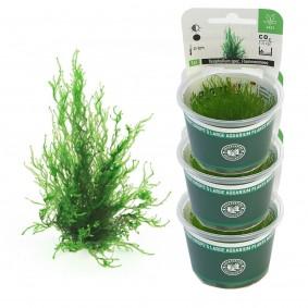 Klein Döbbern Angebote Dennerle Aquarienpflanzen Taxiphyllum spec. Flammenmoos In-Vitro Aquarium Pflanzen