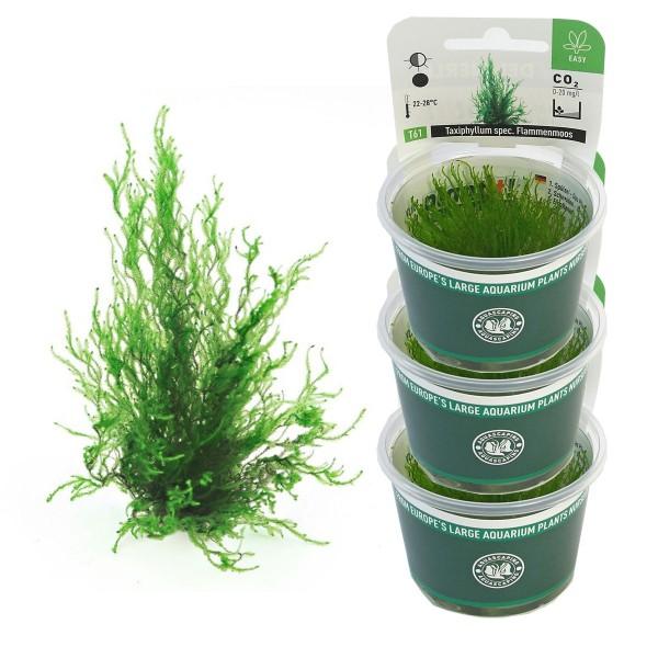 dennerle aquarienpflanzen taxiphyllum spec flammenmoos in vitro aquarium pflanzen. Black Bedroom Furniture Sets. Home Design Ideas